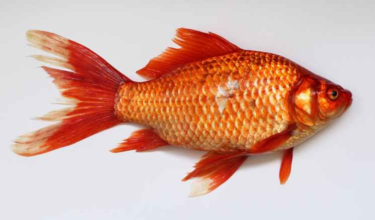 goldfish-carassius-fish-golden-45910